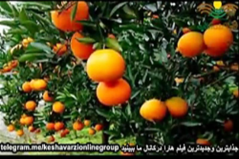 زندگینامه نارنگی