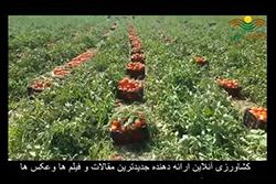 بذر گوجه فرنگی ضد ویروس مارول