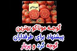 گوجه موناکو بهترین پیشنهاد برای طرفداران گوجه گرد و پربار