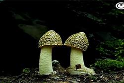 قارچ های سمی اما جذاب و دیدنی