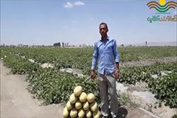 بذر خربزه خاتونی کیان رقیب بذرهای وارداتی