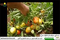 بازدید از مزرعه گوجه مارول در پارس آباد