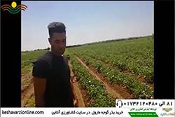 نظر کشاورز در رابطه با گوجه مارول