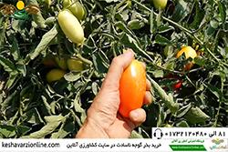 گوجه فرنگی ناسادت