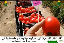 گوجه ی گرد و صادراتی موناکو