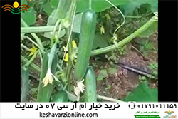 نظر کشاورز در رابطه با خیار ام آر سی07