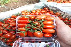 فیلم گلخانه گوجه چری بسیار پربار سانتیاگو