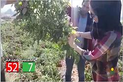 کاشت موفق گوجه ی ثمین در ارسنجان