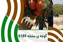 حجم و بار زیاد گوجه ی ثمین