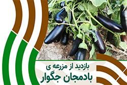 بادمجان جگوار در فارس