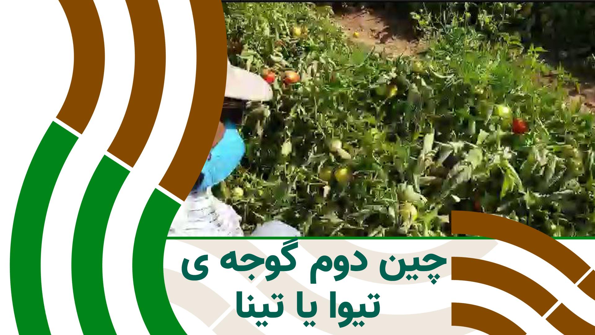 باردهی زیاد گوجه ی تینا در چین دوم