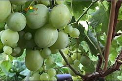 افزایش کیفیت انگور