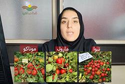 انتخاب بهترین بذر گوجه فرنگی